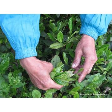 Duyun maojian  vert - récolte printemps 2021